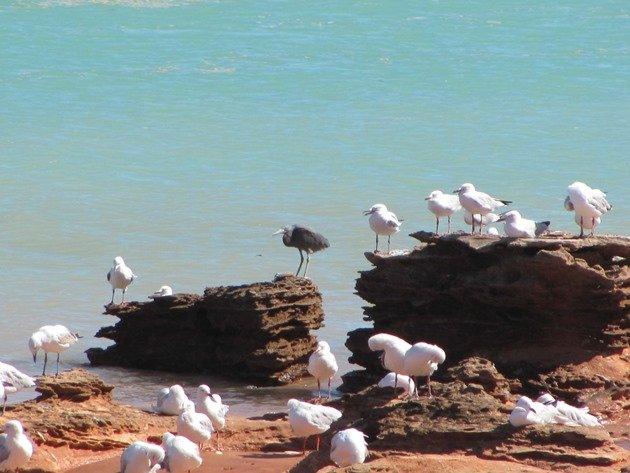 Silver Gulls & Eastern Reef Egret