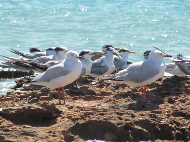 Silver Gulls,Crested and Lesser Crested Terns