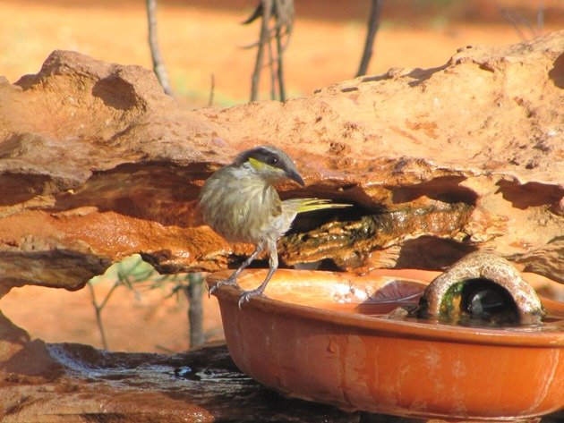 Singing Honeyeater (2)