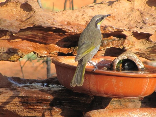 Singing Honeyeater (3)
