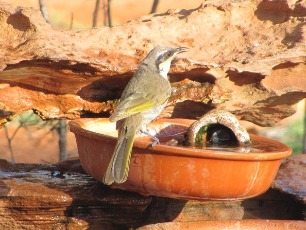 Singing Honeyeater (4)