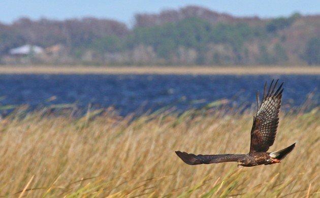 Snail Kite in flight