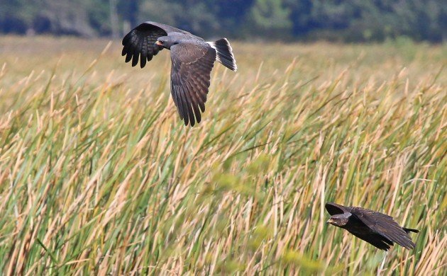 Snail Kites in flight