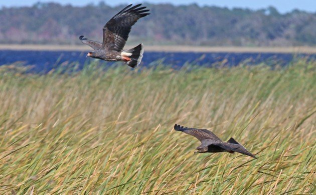 Snail Kites in flight at East Lake Toho