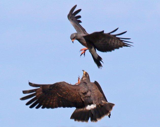 Snail Kites sparring in flight