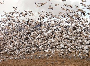 Snow Geese_Bosque del Apache NWR by Lee Karney