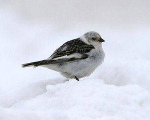 SnowBuntingOnSnow.jpg.560x0_q80_crop-smart