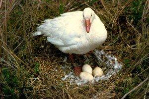 Snow_Goose_on_Nest