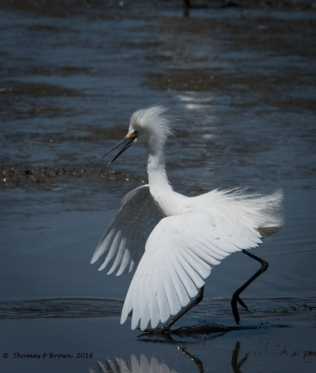 Snowy Egret (3)