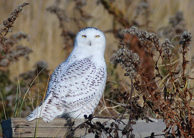 Snowy Owl at Breezy Point