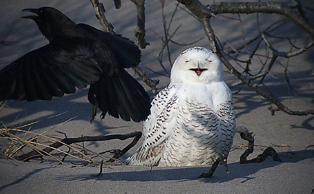 Snowy Owl being harassed by an American Crow