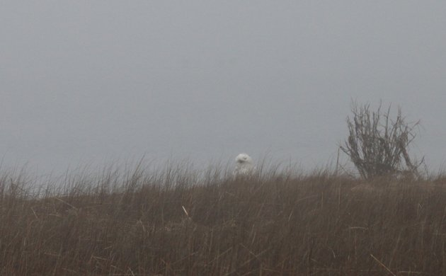 Snowy Owl on Dune Road