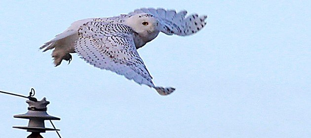 Snowy-Owl-taking-off-feature-630x280