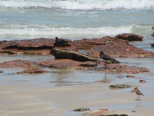 Sooty Oystercatcher,Pied Oystercatcher and Pacific Golden Plover