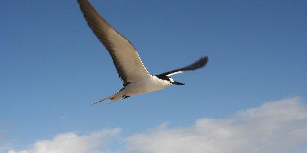 Sooty Terns are Very Loud