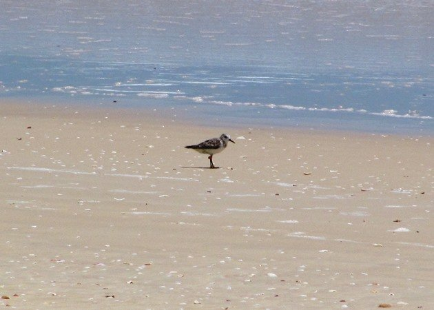 South Australian flagged Sanderling