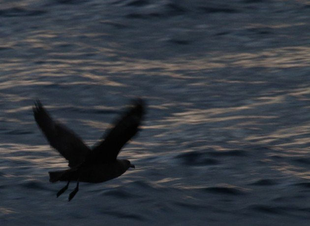 South Polar Skua early morning