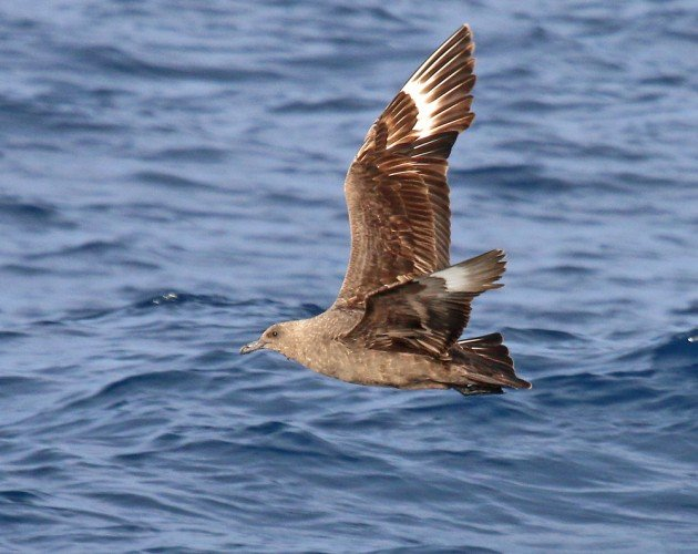 South Polar Skua in New York