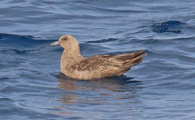 South Polar Skua on the water