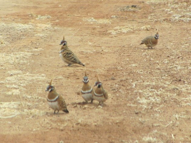 Spinifex Pigeons (2)