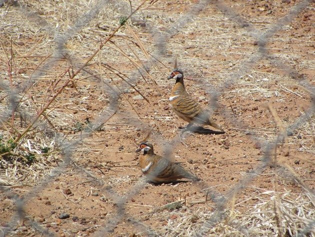 Spinifex Pigeons (3)