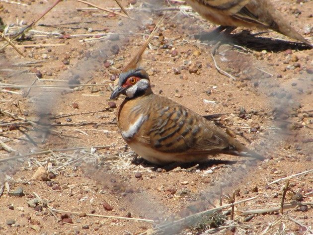 Spinifex Pigeons (4)