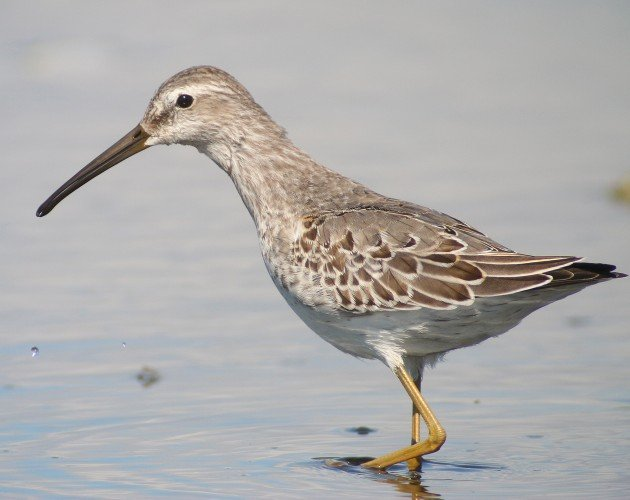 Stilt Sandpiper at Jamaica Bay