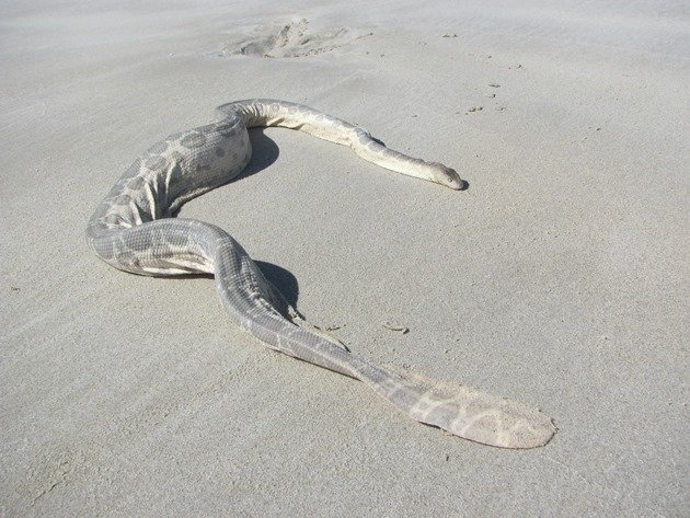 Stoke's Sea Snake