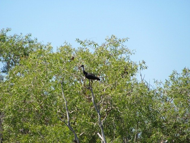 Straw-necked Ibis (2)