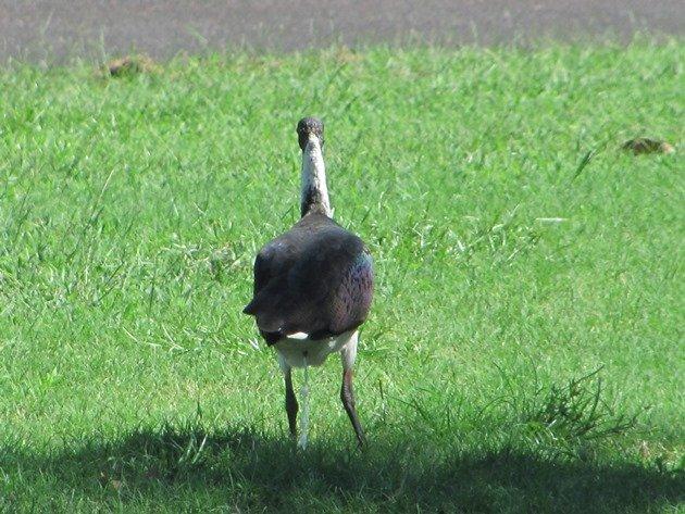 Straw-necked Ibis (4)