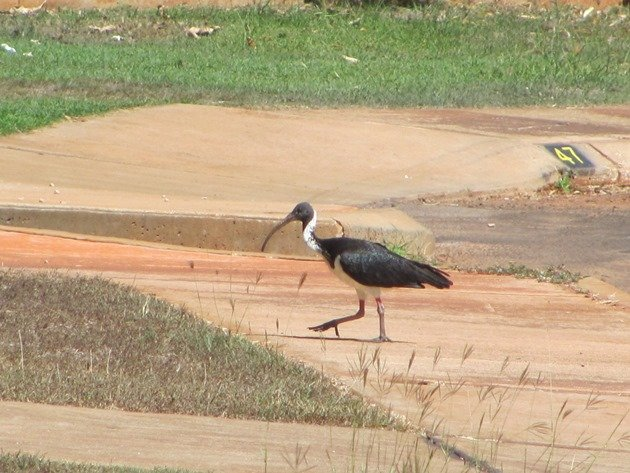 Straw-necked Ibis (8)