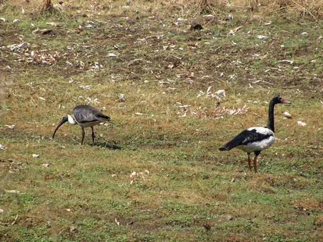 Straw-necked Ibis & Magpie Goose