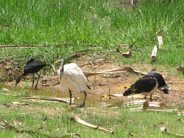 Straw-necked, White & Glossy Ibis