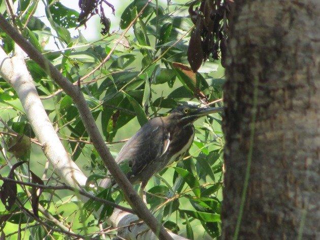 Striated Heron-rufous morph (10)