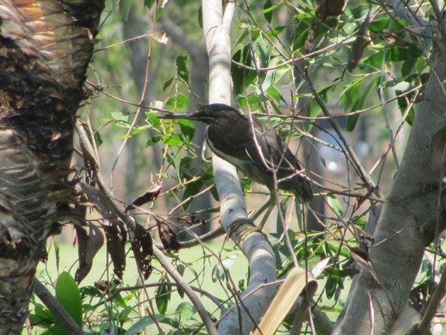 Striated Heron-rufous morph (9)