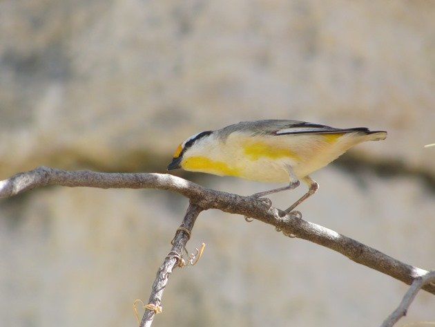 Striated Pardalote (2)