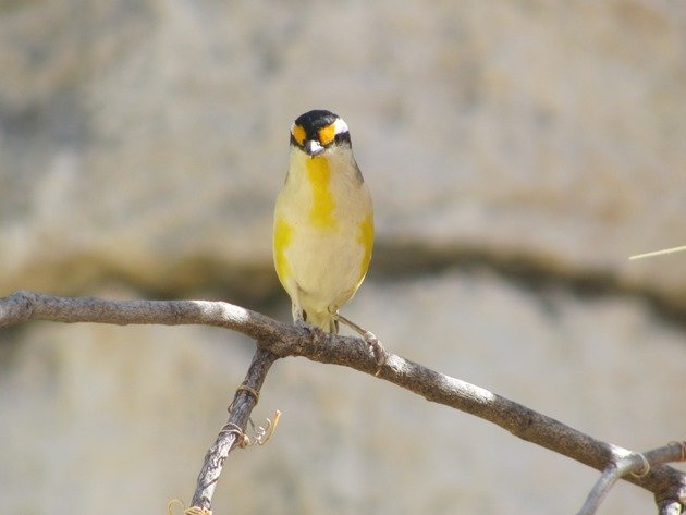 Striated Pardalote (3)