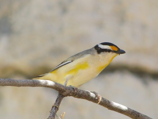 Striated Pardalote (4)