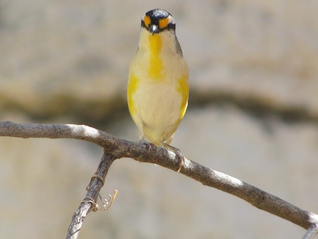 Striated Pardalote (5)