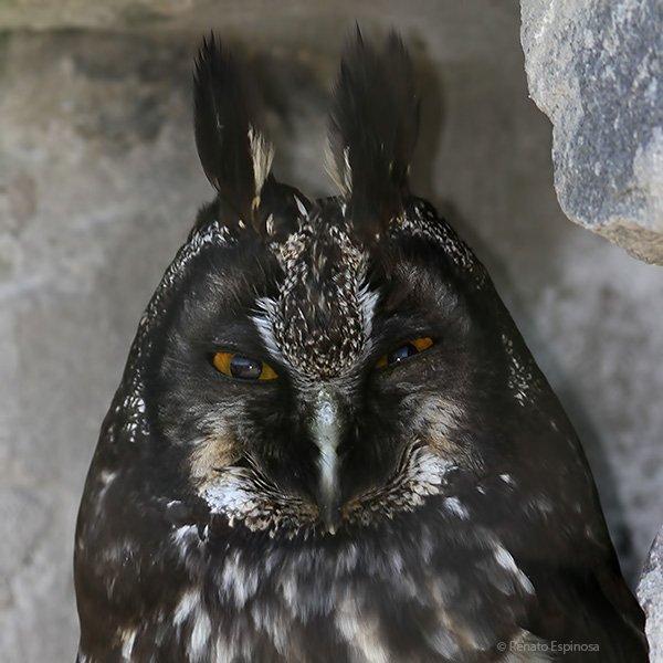 Stygian-Owl