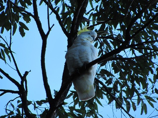 Sulphur-crested Cockatoo (2)
