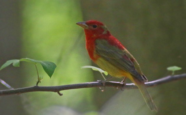 Summer Tanager at the waterhole