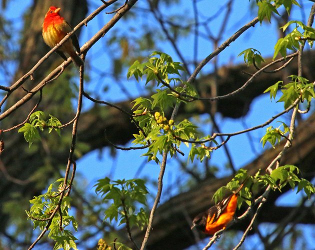 Summer Tanager with Baltimore Oriole