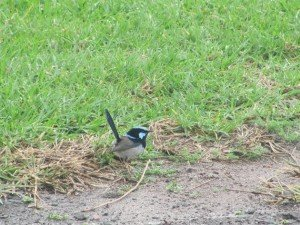 Superb Fairy-wren (2)
