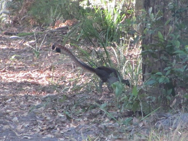 Superb Lyrebird (3)