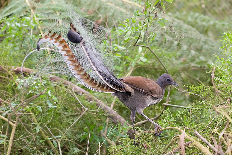 Superb_lyrbird_in_scrub