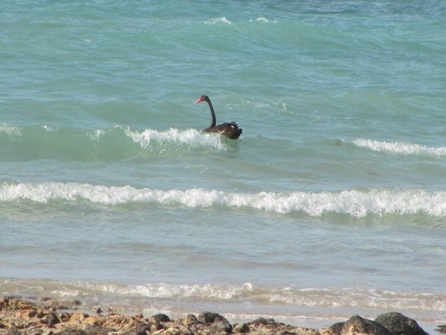 Surfing Black Swan (2)