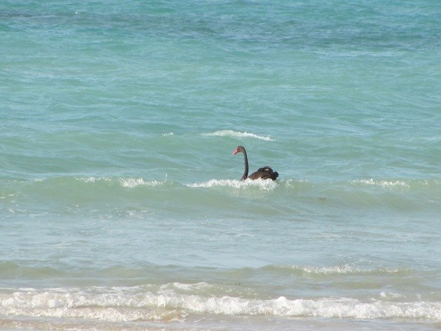 Surfing Black Swan