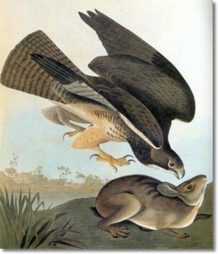 Swainson's Hawk Audubon