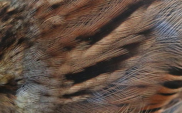 Swamp Sparrow plumage detail